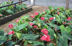 Empaer organiza congressos nacionais de floricultura e cultura de tecidos de plantas