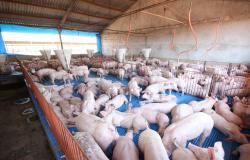 Mato Grosso intensifica exportação de suínos reprodutores para a Argentina