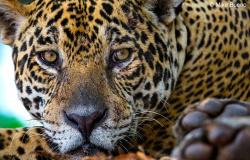 Onças-pintadas impulsionam turismo no Pantanal em MT; 90% dos turistas são estrangeiros