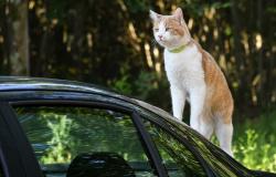 Justiça condena dona de gatos a pagar conserto de veículo arranhado