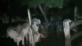 Ação integrada da Polícia Civil e PM recupera 82 cabeças de gado bovino roubadas em fazenda