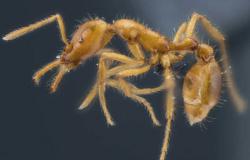 Nova espécie de formiga recebe primeiro nome científico de gênero neutro