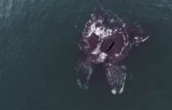 Vídeo: Baleias ameaçadas de extinção 'se abraçam' em registro raro