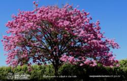 Ipês floridos embelezam ruas e avenidas do município