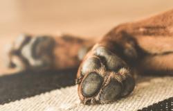 Cachorros de canil são mortos na Austrália para evitar infecções por Covid-19