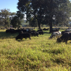 Manejo Voisin na Fazenda P.U. em Urutaí GO de João Roberto de Arruda Sampaio.