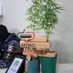 Força Tática prende dois irmãos com 5KG de maconha e dois pés da cannabis sative