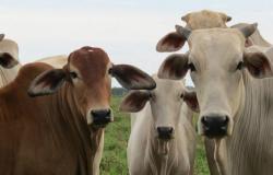 Mato Grosso entra na rota da exportação de boi em pé