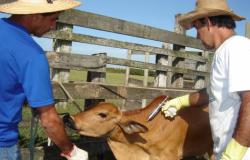 Vacinação contra febre aftosa atinge 99,7% dos animais no estado
