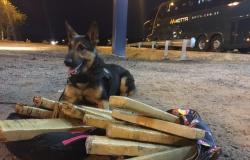 Cadela da PF encontra maconha em bagagem de passageira