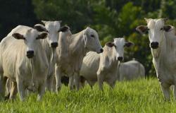 Ministério investiga suspeita da doença da vaca louca em MT