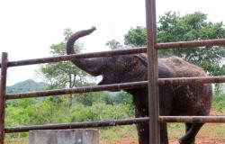 """Aos 47 anos, elefanta """"Guida"""" morre em santuário em Chapada"""