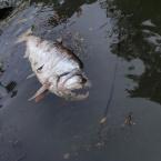 Peixes voltam a morrer no Rio Teles Pires (Vídeo)