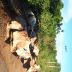Motorista tenta evitar batida e tomba carreta que transportava gado na MT-208