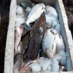 Policia Militar apreende 185 kg de pescado irregular em Nova Monte Verde