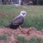 Harpia é capturada em propriedade rural de Alta Floresta pelo Corpo de Bombeiros