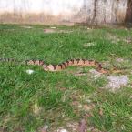 hauahuahauhauhauahhauhauahuahuahauhuMais de 40 cobras já foram capturadas na área urbana de Alta Floresta só este ano