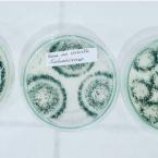 hauahuahauhauhauahhauhauahuahuahauhuAlta Floresta: Unemat é parceira na produção de biopesticida para braquiária