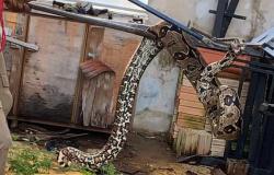 Jiboia de 2 metro é resgatada em lavanderia de residência em Alta Floresta