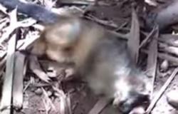 EM ALERTA : Exame confirma morte de macaco por febre amarela em MT