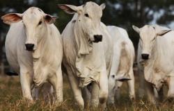 Preço do boi atinge maior valor desde início de junho em MT