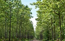 Produção de teca de Alta Floresta será destaque no 4º Encontro de Silvicultura