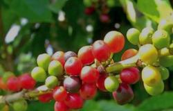 Produção de café aumenta 13,9% em Mato Grosso