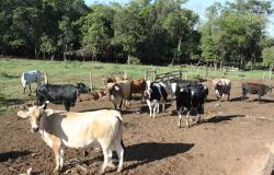 Empaer orienta produtores sobre a vacinação de bovinos e bubalinos em Nova Canaã do Norte