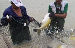 Piscicultores de Alta Floresta, Carlinda e Paranaíta estão com problemas para distribuição do pescado