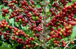 Café começa a ganhar espaço em MT e área destinada ao grão aumenta 25,4%