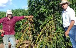 Nova Bandeirantes: iniciada colheita do café clonal, expectativa é alcançar 110 sacas por hectare