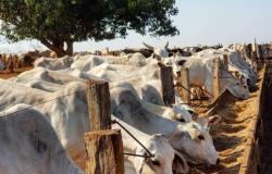 Dados do Projeto Campo Futuro de Alta Floresta apontam que retorno financeiro da pecuária é baixo