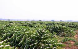 Agricultores investem na produção de Café Clonal em Nova Monte Verde