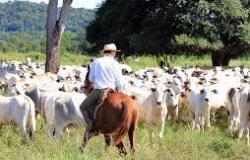 Mato Grosso é destaque nacional em bovinos desde 2004