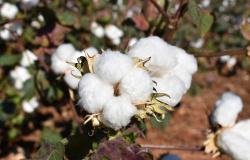 Ampa prevê manutenção na área de algodão em Mato Grosso na safra 2019/20