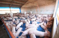 Acrimat e Indea-MT finalizam levantamento sorológico sobre peste suína clássica