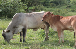 Carne em alta ano que vem: rebanhos diminuem com abate precoce