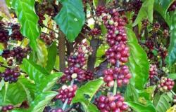 Produtividade de café bate recorde nos municípios de Colniza e Nova Santa Helena em MT