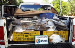 Sema apreende 256 kg de pescado no município de Sinop