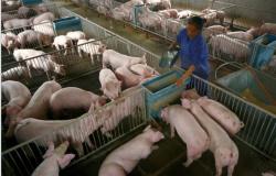 Chineses identificam, em porcos, vírus de gripe com potencial de gerar nova pandemia