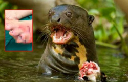 Ariranhas atacam famílias em rio de MT e causam ferimentos graves