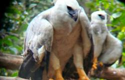 Filhotes de Harpia resgatados em Sinop e Colniza, reinseridos na natureza são vistos caçando