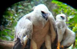 Mais de 30 ninhos da maior águia do mundo são identificados em Nova Bandeirantes e mais 8 cidades