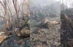 Incêndio atinge fazenda em MT e gado morre carbonizado; veja vídeo