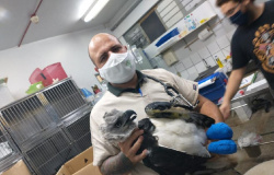 Harpia ferida em rede elétrica em Juina passa por exames no Hospital Veterinário da UFMT