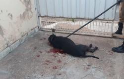 MT - Dois pitbulls invadem casa, matam outros 3 cães e fere um 4º; foram contidos a tiro
