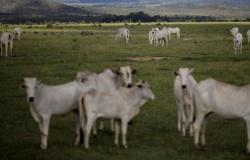 Frigoríficos no Norte de MT tentam driblar escassez de boi, pressionando vendedores