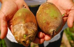 Estudo feito em Alta Floresta: farelo de babaçu é alternativa eficaz na pecuária leiteira