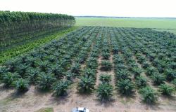 Embrapa avalia qualidade do óleo de palma produzido em Mato Grosso