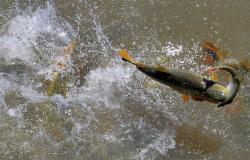 Período da piracema segue estudo que monitora peixes há 16 anos em Mato Grosso